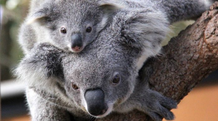 Baby Koala and his Mom