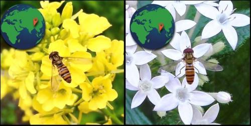 Perky Pollinators - hoverflies
